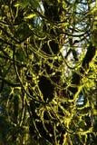 De vreedzame boom van de de Wijnstokesdoorn van het Noordwestenregenwoud Royalty-vrije Stock Fotografie