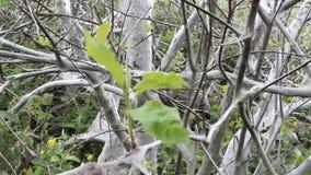 De vreselijke vreselijke mot doodt bomen, spint een Web stock videobeelden
