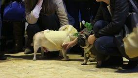 De vriendelijke vrouwen die leuke pugs petting vermoeiden nadat de prestaties in kostuums bij hond tonen stock video