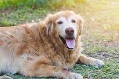 De vriendschappelijke golden retrieverhond is bepaalt en ontspannend in de tuin Stock Foto