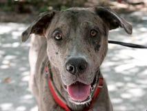 De vriendschappelijke Hond van de Luipaard Catahoula Royalty-vrije Stock Foto's