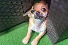 De vriendschappelijke puppychihuahua het spelen huid - en - zoekt royalty-vrije stock afbeelding