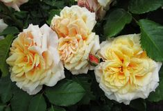 De vrij Aantrekkelijke Tuin van Perzikrose flowers blossom in park stock foto