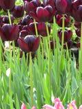 De vrij donkere purpere bloemen van de de lentetulp in een tuin, Mei 2018 royalty-vrije stock afbeeldingen