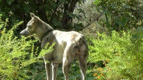 De vrij Getijgerde Met een laag bedekte Vrouwelijke Hond kijkt rond Tuin stock video