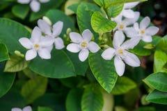 De vrij groene bladerenstruik en de zuivere witte tengere sterrige bloemblaadjes van Sneeuwvlok, geurige bloembloesem, kennen als royalty-vrije stock afbeelding