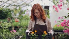 De vrij jonge vrouw draagt container met pottenbloemen in serre, rond bekijkend mooie bloeiende installaties en stock video