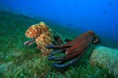 De vrijage en het koppelen van de octopus stock foto's
