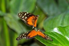 De Vrijage van de vlinder Stock Afbeeldingen