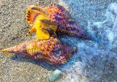 De vrije duiker vindt shells in het Egeïsche duidelijke overzees Stock Foto