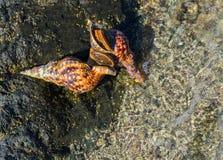 De vrije duiker vindt shells in het Egeïsche duidelijke overzees Royalty-vrije Stock Afbeeldingen