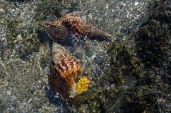 De vrije duiker vindt shells in het Egeïsche duidelijke overzees Royalty-vrije Stock Fotografie