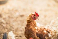 De vrije Kippen van de Waaier Royalty-vrije Stock Foto