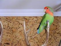 De vrije vlieg van Rosy Faced Lovebird in huis Royalty-vrije Stock Foto's