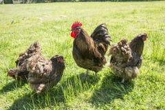 De vrije waaier van kippen Royalty-vrije Stock Afbeeldingen
