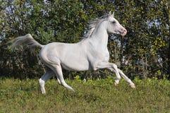 De vrije witte galop van de paardlooppas Royalty-vrije Stock Fotografie