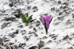 De vroege bloei van de de lente purpere krokus, maar plotseling keerde hij naar Th terug stock fotografie
