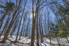 De vroege lente bij het bos van esdoornbomen Royalty-vrije Stock Afbeeldingen