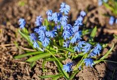 De vroege lente Blauwe Scilla Squill Stock Fotografie