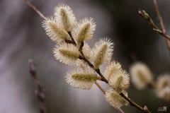 De vroege Lente bloeit de Achtergrond van Flora Afternoon Pussy Willow Branches Bokeh royalty-vrije stock afbeeldingen