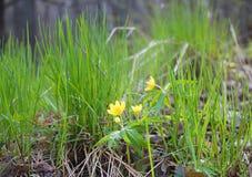 De vroege Lente Helder gele eerste bloemen en heerlijk groen gras Stock Fotografie