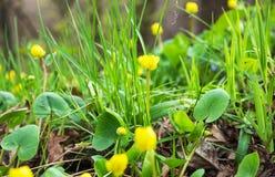 De vroege Lente Helder gele eerste bloemen en heerlijk groen gras Stock Foto's
