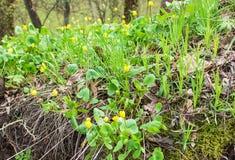 De vroege Lente Helder gele eerste bloemen en heerlijk groen gras Royalty-vrije Stock Afbeeldingen