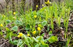 De vroege Lente Helder gele eerste bloemen en heerlijk groen gras Royalty-vrije Stock Fotografie
