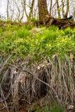 De vroege Lente Helder gele eerste bloemen en heerlijk groen gras Royalty-vrije Stock Afbeelding