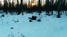 De vroege lente in het bos bij zonsondergang, stock video