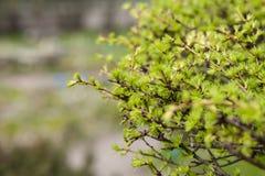 De vroege lente, jong lariksclose-up, concept de lente, seizoenen, weer royalty-vrije stock foto