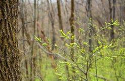 De vroege Lente Jongelui, helder groene bladeren op een boom Royalty-vrije Stock Foto