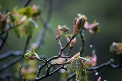 De vroege lente, vóór de roze bloesem Stock Fotografie