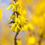 De vroege lente van forsythiaflowersin Het tot bloei komen forsythia in de boomgaard Bokeh royalty-vrije stock afbeeldingen
