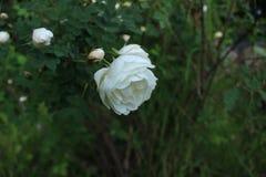 De vroege rozen van de ochtendthee royalty-vrije stock afbeeldingen