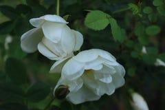 De vroege rozen van de ochtendthee stock afbeeldingen