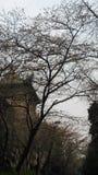 de vroege sakuraboom dichtbij een oud gebouw in whu Stock Foto's