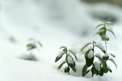 de vroege winter; lingonberry takjes onder de eerste sneeuw royalty-vrije stock foto