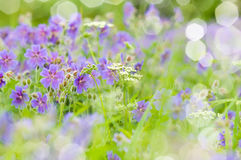 De vroege zomer bloeiende geranium Stock Fotografie