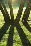 De vroege Zomerochtend Dawn, Zonsopgang In de schaduw gestelde Backlit Parkbomen, Helder Parkland-Gazon, Grote Verticale Boomstam Stock Foto's