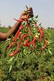 De Vroegere Tonende Rode Spaanse pepers van India Royalty-vrije Stock Foto