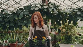De vrolijke serreeigenaar loopt in serre, draagt rond doos van pottenbloemen, kijkt en glimlacht klein stock footage