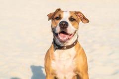 De vrolijke vriendelijke hond zit in openlucht in zand Leuke staffordshire terr stock afbeelding