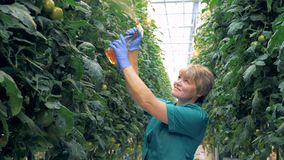 De vrolijke warmhousewerknemer bespuit tomatenplanten stock footage