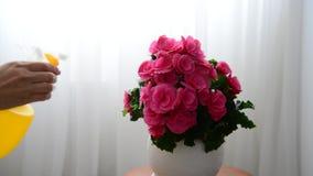 De vrouw bespuit roze azalea stock footage