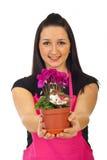 De vrouw die van de bloemist cyclaam aanbiedt Royalty-vrije Stock Fotografie