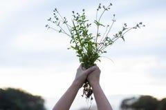 De vrouw die van hand het gras op de hemel in de avond houden royalty-vrije stock foto's