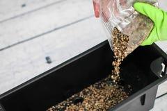 De vrouw dient groene handschoenen in giet drainage in plastic container Voorbereiding van zaden voor het planten in de grond royalty-vrije stock foto's