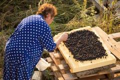 De vrouw droogt bessen van de tuin royalty-vrije stock afbeeldingen