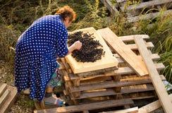 De vrouw droogt bessen van de tuin royalty-vrije stock fotografie